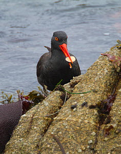 Black oystercatcher (Haematopus bachmani), with limpet, Monterey Peninsula, California, USA, October.  -  Marie  Read