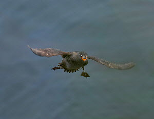 Crested auklet (Aethia cristatella) adult in breeding plumage, in flight, about to land, St Paul Island, Pribilofs, Alaska,  -  Marie  Read