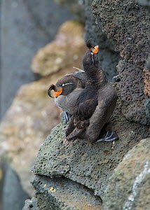 Crested auklets (Aethia cristatella) pair interacting while perched on rock, St Paul Island, Pribilofs, Alaska, USA, July.  -  Marie  Read
