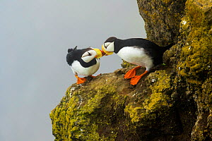 Horned puffins (Fratercula corniculata) pair interacting by touching bills while perched on cliff ledge, St. Paul Island, Pribilofs, Alaska, USA, July.  -  Marie  Read