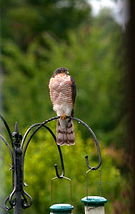 Sparrowhawk (Accipiter nisus) perched on  bird feeder, Devon, UK, September.  -  Rob Cousins