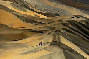 Gemsbok (Oryx gazella) in sand dunes, Namibia. Finalist in the Mammals Category of the Wildlife Photographer of the Year Awards (WPOY) Competition 2015.  -  Sergey  Gorshkov