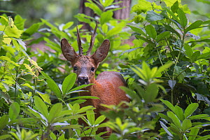 Roe Deer (Capreolus capreolus) stag peering through vegetation, Peerdsbos, Brasschaat, Belgium, July. - Bernard Castelein