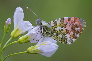 Orange tip (Anthocharis cardamines) male on Cuckoo flower (Cardamine pratensis) Klein Schietveld, Brasschaat, Belgium, May.  -  Bernard Castelein