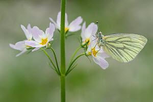 Green-veined white (Pieris napi) on Water violet (Hottonia palustris), Groot Schietveld, Wuustwezel,  Belgium, May.  -  Bernard Castelein