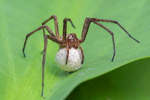 Nursery web spider (Pisaura mirabilis) carrying eggs, Brasschaat, Belgium, June. - Bernard Castelein