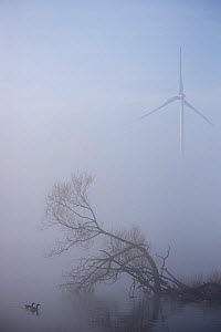Greylag geese (Anser anser) in pond on misty morning, with tree and windmill, Antwerpen, Belgium, April  -  Bernard Castelein