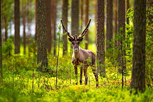 Forest reindeer, (Rangifer tarandus fennicus) in velvet, Viiksimo, Kuhmo region. Finland, July. Rare subspecies which were nearly extinct in the 19th Century. - Uri  Golman