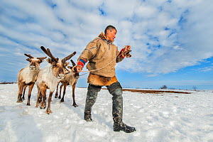 Nenet herdsman with Reindeer (Rangifer tarandus) during summer migration, Yamal Peninsula, Russia. May. - Arne Hodalic