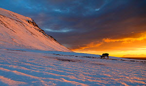 Svalbard reindeer (Rangifer tarandus platyrhynchus) in distance at sunset, Svalbard, Norway. April.  -  Espen Bergersen