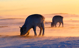 Svalbard reindeer (Rangifer tarandus platyrhynchus) two foraging at sunset, Svalbard, Norway. April.  -  Espen Bergersen