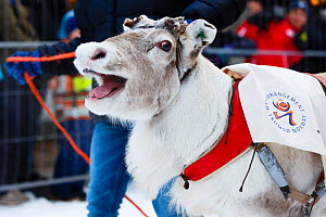 Dehorned reindeer at Tromso Reindeer Racing Championships, Tromso, Norway, February.  -  Espen Bergersen