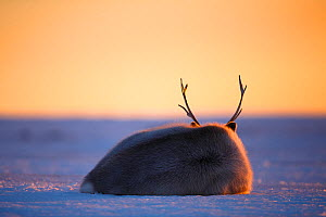 Svalbard reindeer (Rangifer tarandus platyrhynchus) rear view lying down, resting at sunset, Svalbard, Norway. April. - Espen Bergersen