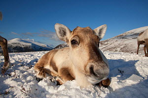 Reindeer (Rangifer tarandus) resting, Cairngorm National Park, Scotland, UK, February.  -  John MacPherson
