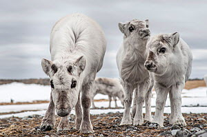 Svalbard reindeer (Rangifer tarandus platyrhynchus) mother and calves, Svalbard, Norway, February.  -  Richard Kirby