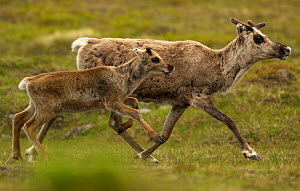 Reindeer (Rangifer tarandus) mother and calf, Laponia World Heritage Area, Lapland, Sweden, July.  -  Staffan Widstrand