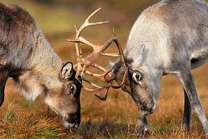 Reindeer (Rangifer tarandus) fighting, Cairngorms Reindeer Herd, Inverness-shire, Scotland, UK, December. Introduced species.  -  Laurie  Campbell
