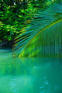 Palm tree branch dipping towards water, Puerto Jimenez, Golfo Dulce, Osa Peninsula, Costa Rica.  -  Juan  Carlos Munoz