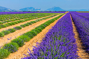 Partially harvested Lavender (Lavendula angustifolia) fields, Valensole Plateau, Alpes Haute Provence, France, July 2015.  -  Juan  Carlos Munoz