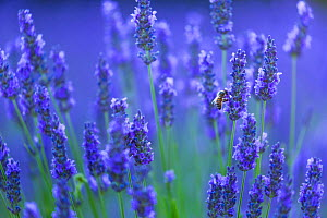 Honeybee (Apis melifera) visiting Lavender (Lavendula angustifolia) in lavender fields, Valensole Plateau, Alpes Haute Provence, France, July.  -  Juan  Carlos Munoz
