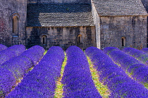 Lavender (Lavendula angustifolia) fields in front of Senanque Abbey, Gordes Village, Provence, France, July 2015. - Juan  Carlos Munoz