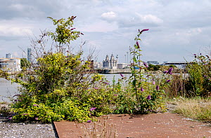 Self sown plants including Buddleia / Butterfly bushes  and the view across the Mersey from part of the Birkenhead dock system, now part of a regeneration scheme for the area. Merseyside, UK. August 2... - Norma  Brazendale