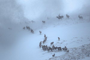 Red Deer herd (Cervus elaphus) moving over mountain ridge in heavy snow. Cairngorms National Park, Scotland. January. Highly Commended in the Habitat category of the British Wildlife Photography Award... - Alex  Hyde