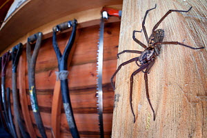 House spider female (Tegenaria sp.) in garden shed. Derbyshire, UK, March. Highly Commended in the Urban Wildlife category of the 2015 British Wildlife Photography Awards (BWPA) Competition. - Alex  Hyde