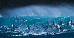 Large pod of Bottlenose dolphins (Tursiops truncatus) porpoising over waves during annual  sardine run, Port St Johns, South Africa. Runner up in the Animals in their Environment Category of the Wildl... - Wim van den Heever