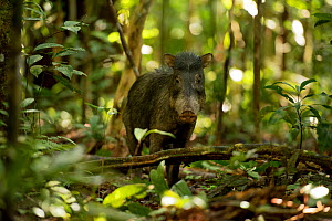 White lipped peccary (Tayassu pecari) on forest floor, Lago Preto Conservation Concession, Yavari River, Peru. - Mark  Bowler