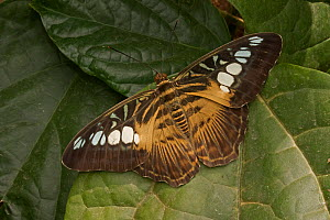 Clipper butterfly  (Parthenos sylvia) captive, occurs in South East Asia. - John Cancalosi