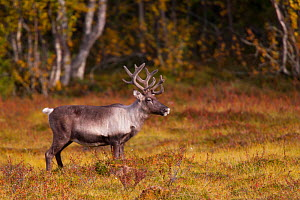 Reindeer (Rangifer tarandus)  in woodland, Sweden, September.  -  Hermann Brehm