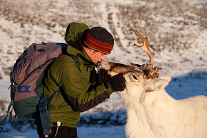 Herdsman kissing Reindeer (Rangifer tarandus) on the nose, Cairngorm National Park, Scotland, UK, February.  -  John MacPherson