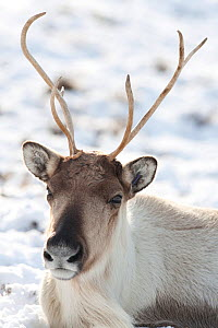 Reindeer (Rangifer tarandus), Cairngorm National Park, Scotland, UK, March.  -  John MacPherson