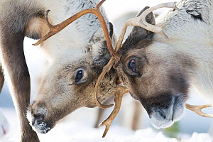 Reindeer (Rangifer tarandus) fighting, Cairngorms National Park, Scotland, UK, March.  -  John MacPherson