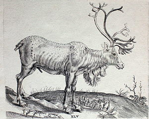 Historical illustration of Reindeer from the 1600s.  -  Paul  D Stewart