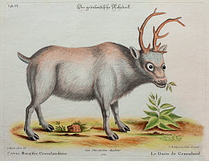 Historical illustration of Reindeer by George Edwards from 1772.  -  Paul  D Stewart