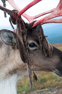 Reindeer (Rangifer tarandus) with velvet coming off antlers, Cairngorms, Scotland, UK. September 2014.  -  Simon  Williams