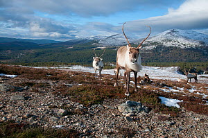 Herd of Reindeer (Rangifer tarandus) in landscape, Cairngorms National Park, Scotland, UK, February.  -  Simon  Williams