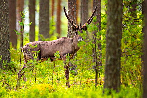 Finnish forest reindeer, (Rangifer tarandus fennicus) in forest,  Viiksimo, Kuhmo region, Finland. July. This rare species became nearly extinct in Finland, but are returning to Finland from Russia.  -  Uri  Golman