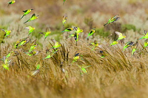 Budgerigar (Melopsittacus undulatus) flock in flight from grasses, ?Arubiddy, Nullarbor, Western Australia. - Roland  Seitre