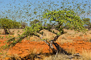 Budgerigar (Melopsittacus undulatus) massive flock on small trees in desert, Murchinson Shire, Western Australia. January.  -  Roland  Seitre