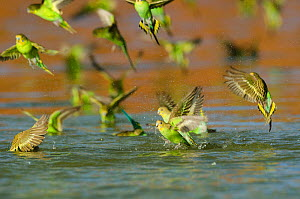 Budgerigar (Melopsittacus undulatus) flock drinking and bathing in water, Wannoo, Billabong Roadhouse, Western Australia. - Roland  Seitre