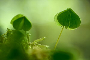 Common wood sorrel (Oxalis acetosella) leaves, Vosges, France, May. - Fabrice  Cahez