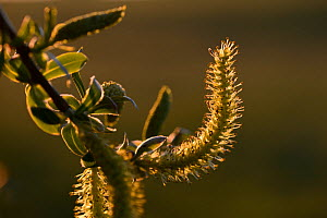 White willow (Salix alba) catkin, Vosges, France, April. - Fabrice  Cahez