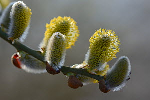 Pussy willow (Salix caprea) catkins, Vosges, France, March.  -  Fabrice  Cahez