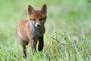 Red fox (Vulpes vulpes) cub walking in grass, ,Vosges, France, May.  -  Fabrice  Cahez