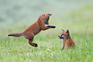 Red fox (Vulpes vulpes) cubs playing, Vosges, France, May. - Fabrice  Cahez