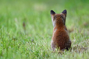 Red fox (Vulpes vulpes) cub sitting, rear view, Vosges, France, May.  -  Fabrice  Cahez