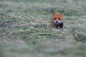 Red fox (Vulpes vulpes) hunting in meadow, Vosges, France, July. - Fabrice  Cahez